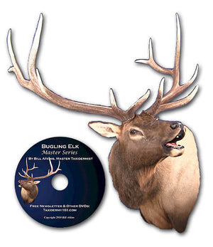 Bugling Elk Taxidermy School Class