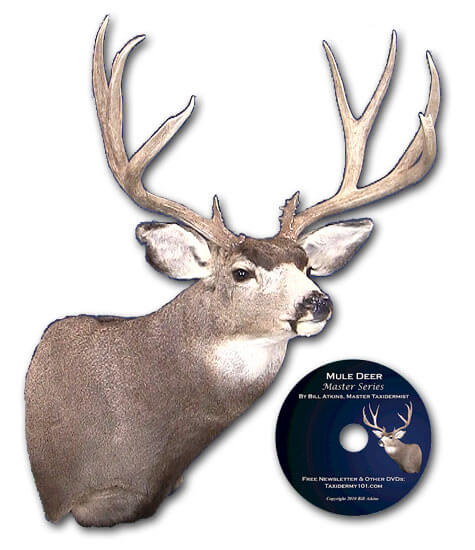 How to Mule deer taxidermy school classes on video