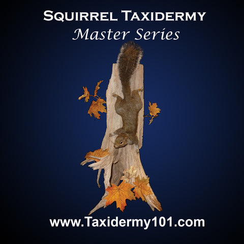 Image of Squirrel Taxidermy