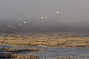 V52 Swans Over Barney Lake in the Mist A65H4015 - Eric Hall