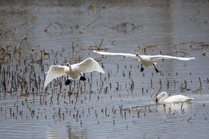 V58 Trumpeter Swans Enjoying a Flood 8P7A7263 - Eric Hall