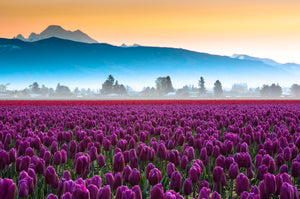 V34 Skagit Tulips and Mt Baker 3179 - Kevin Hartman