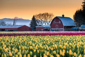 Mt Baker Red Barn Tulips 6011 - Kevin Hartman