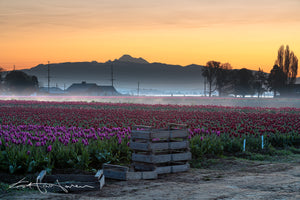 Mt Baker and Tulips 5918 - Kevin Hartman