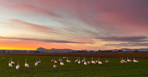 V16 Swans striking in the sunset 7292 - Gary Brown