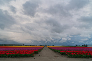 V27 Tulip field with rain coming 5601 - Gary Brown