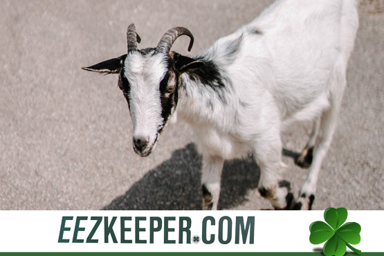 Feeders for Goats : automatically feeding pellets, cubes, grain, supplements and/or any hay products