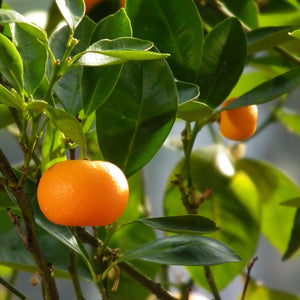 Australian Essential Oil - Mandarin Mantsa Wellness