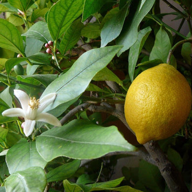 Australian Essential Oil - Lemon Australian Selection Essential Oil Mantsa Wellness