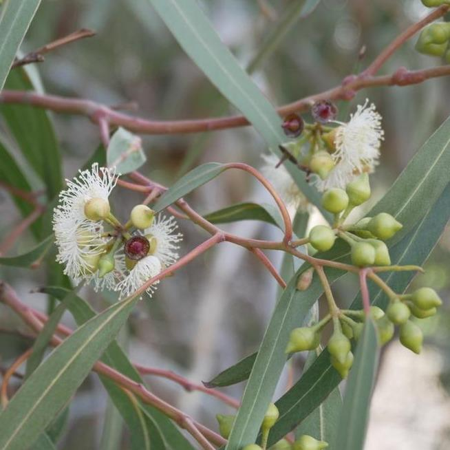 Australian Essential Oil - Eucalyptus Blue Mallee Australian Selection Essential Oil Mantsa Wellness