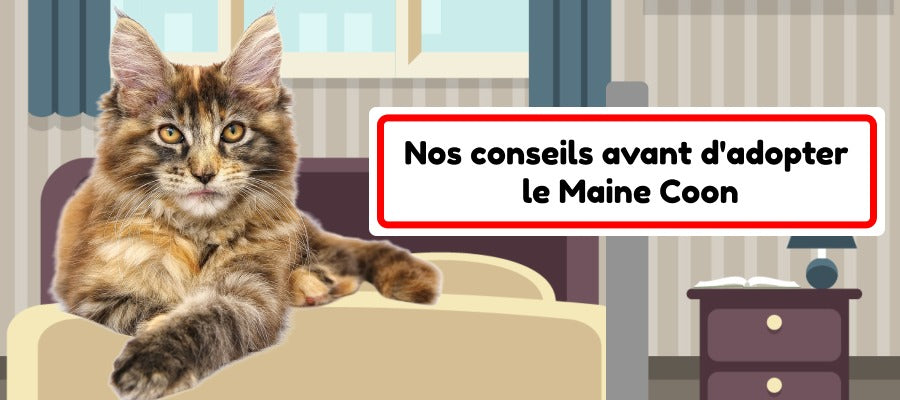 conseils adopter un maine coon