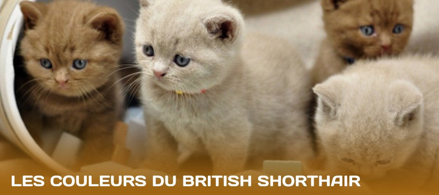 couleurs british shorthair