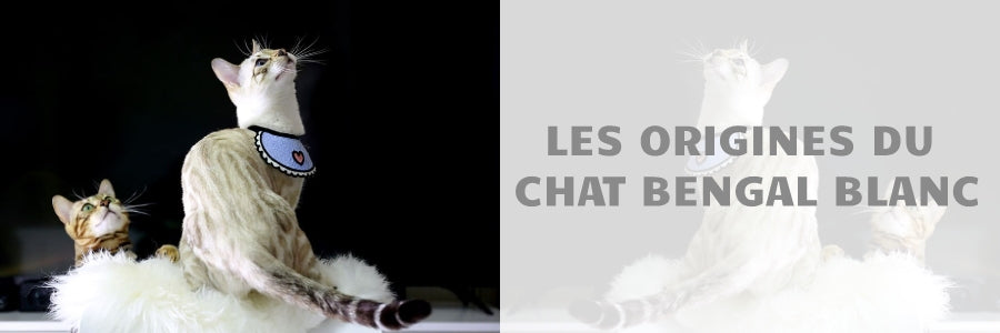 Origines du chat bengal blanc