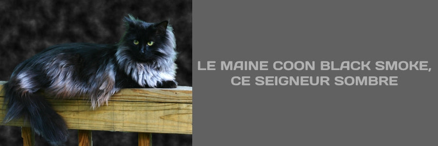 blog maine coon