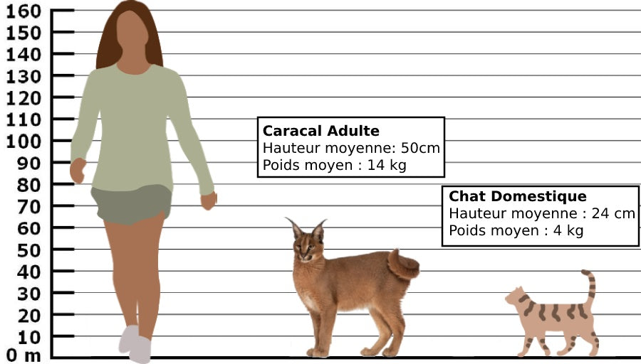 caracal comparaison taille humain et chat