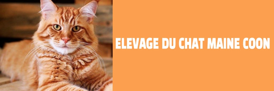 élevage du chat maine coon