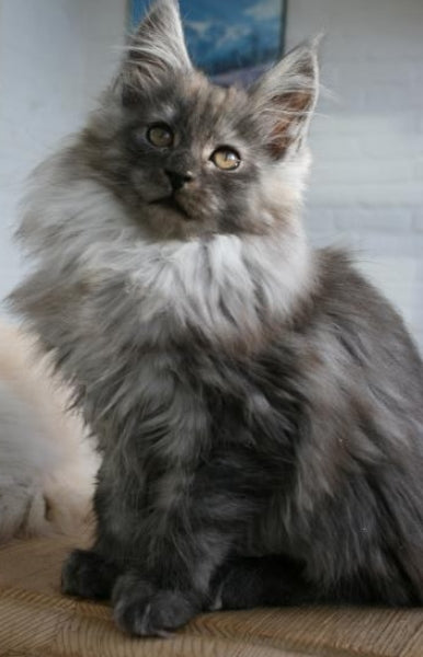 maine coon black smoke assis