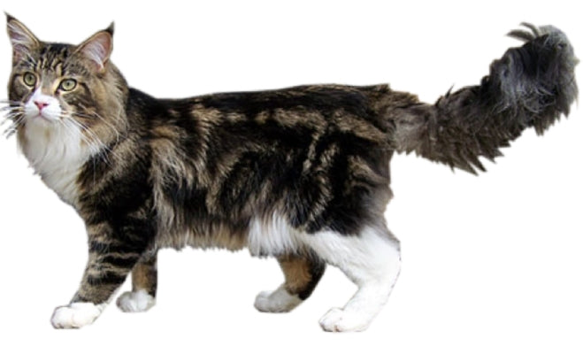 maine coon blotched