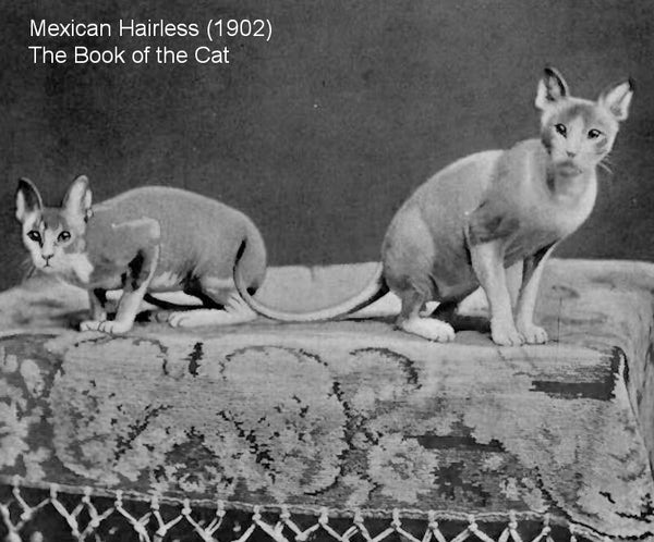Mexican hairless Cat - the book of the Cat 1902