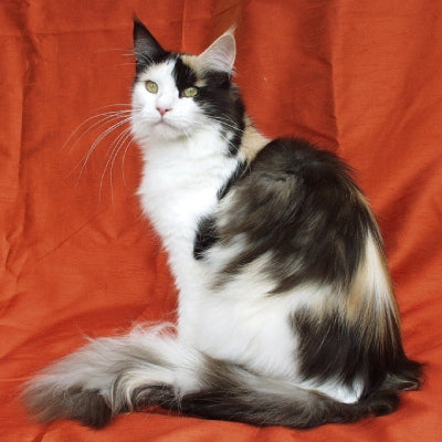 maine coon black white tortie