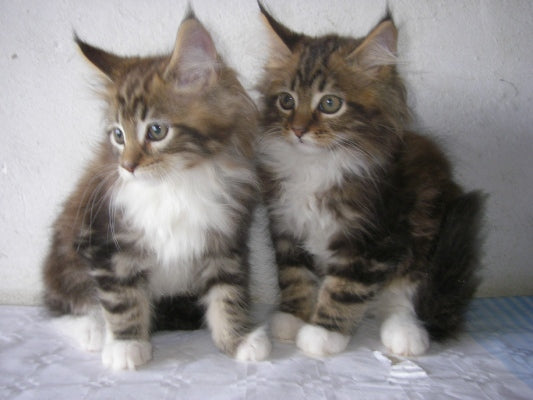 maine coon brown tabby white