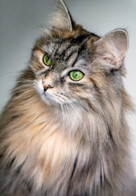 maine coon brown tortie