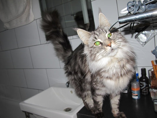 maine coon grey tabby