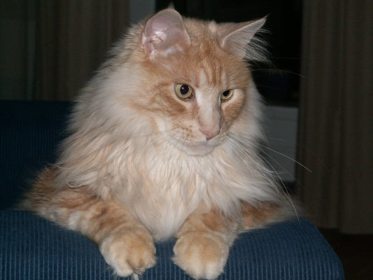 maine coon red tabby