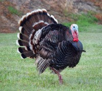NC Turkey Hunting Season is coming up!