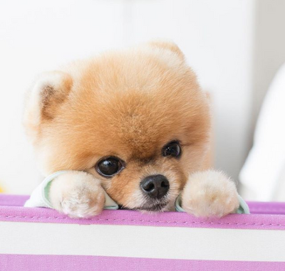 Pomeranian Wins 2018 Kids' Choice Awards Favorite Instagram Pet