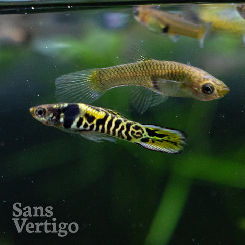 Tiger Endlers - Breeding Trio