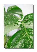 "poster ""monstera variegata"""