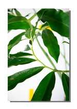 "poster ""philodendron goeldii"""