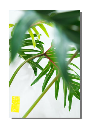 "poster ""philodendron xantal"""
