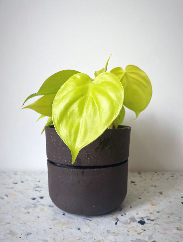 "Philodendron scandens ""lemon lime"""