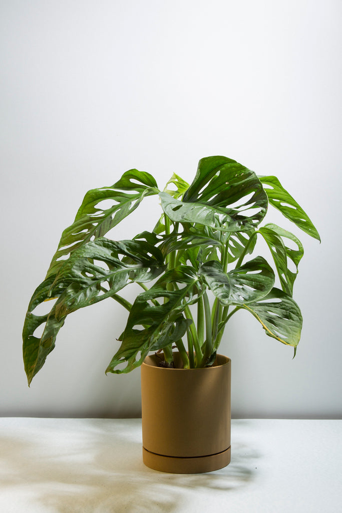 Monstera adansonii
