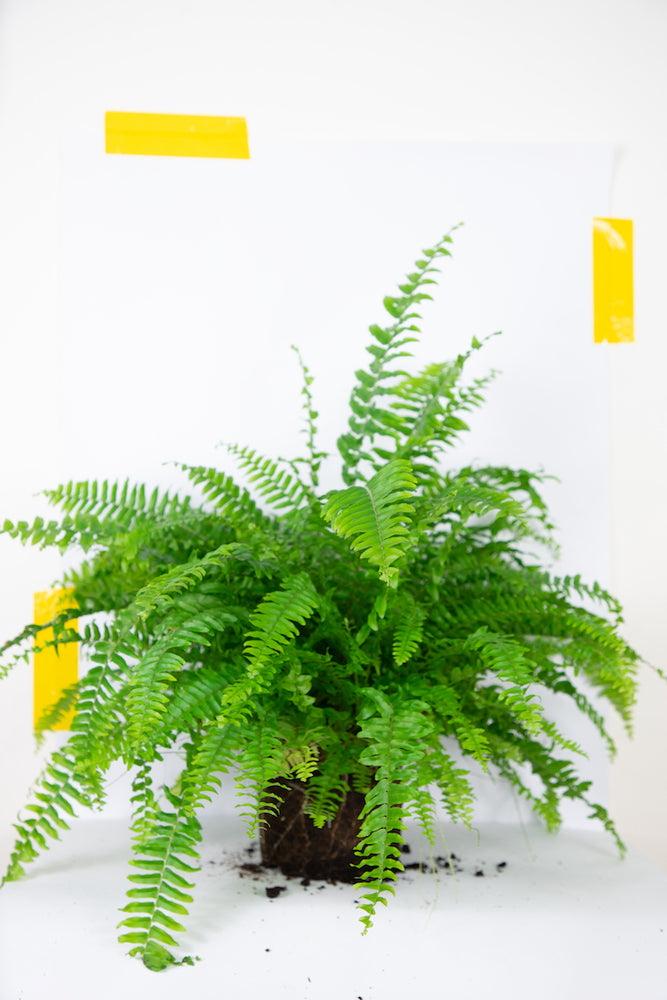 ledviník (boston fern)