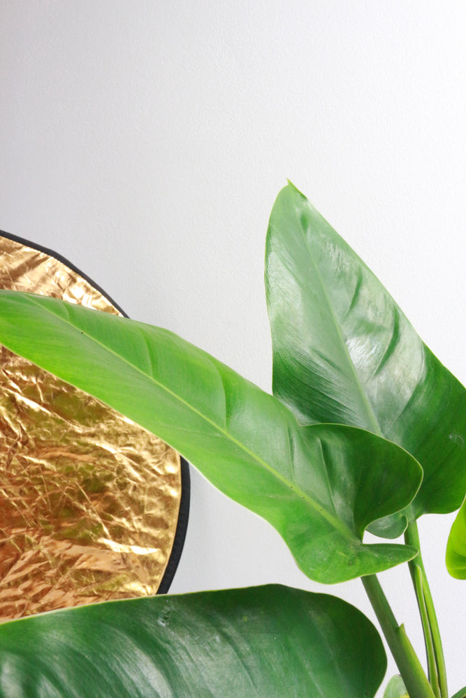 "Philodendron ""Imperial Green"""