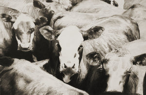 Open image in slideshow, Cow pencil art of drawing Weaners In Yards Print - JAIME PROSSER ART
