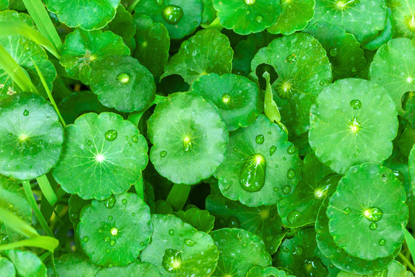 The Benefits of Using Centella Asiatica (Gotu Kola)