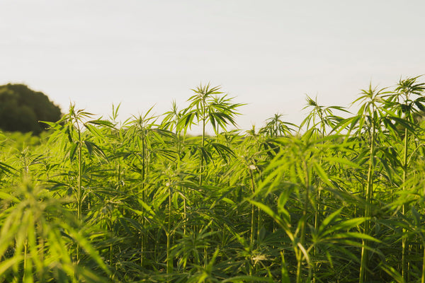 A Brief History of Hemp Cultivation and CBD Use