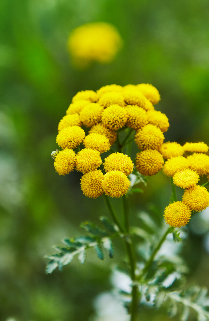 5 Blue Tansy Skincare Benefits