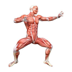 Human Body - Muscles (MUS)