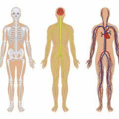 Human Anatomical/Functional Systems (SYS)