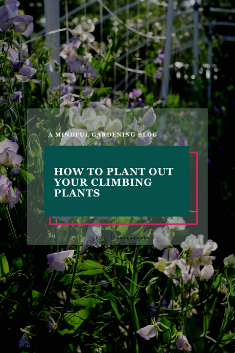 How to plant out your climbing plants
