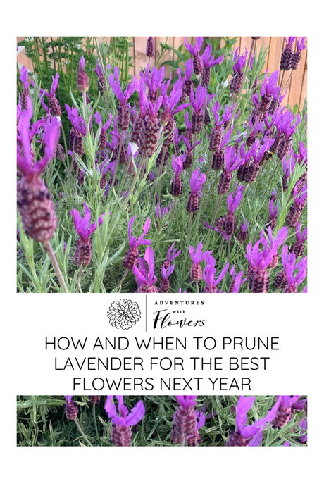 How and when to prune lavender for the best flowers next year
