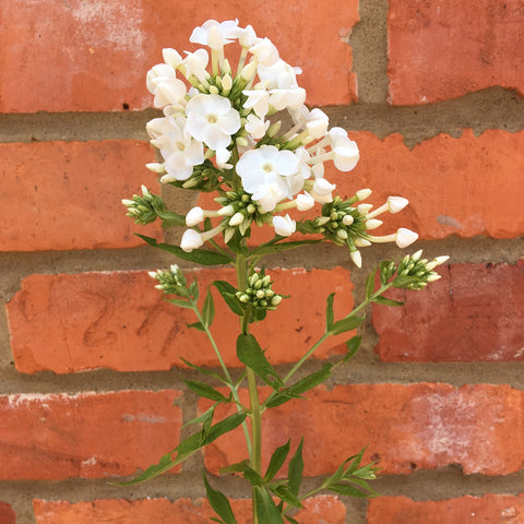 White phlox paniculata david against a brick wall