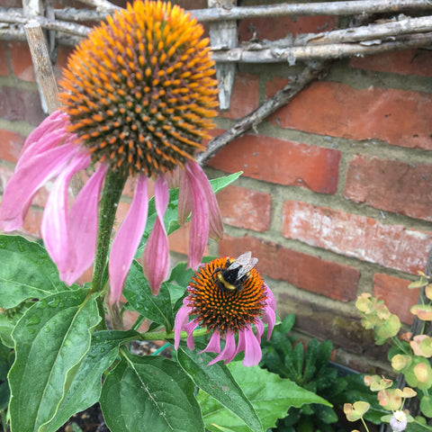 Purple echinacea with a bumble bee on top of it