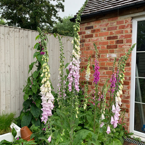 Tall spires of pink, purple and white foxgloves in a border next to a brick building