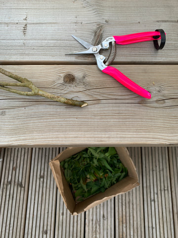 bright pink secateurs, a branch with the end cut at a 45 degree angle and a cardboard box filled with discarded leaves